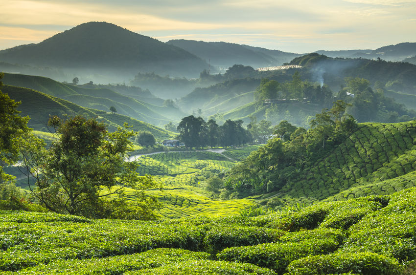 Polyphenols in tea good for bone health