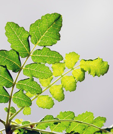 Boswellia- Natural Remedies for Inflammation