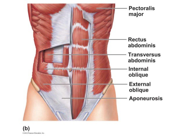 Ribs and Thoracic Spine Diagram