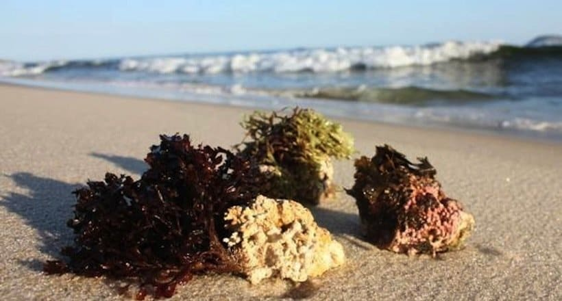 Algas Calcareas