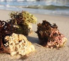 Algas Calcareas, Marine Algae