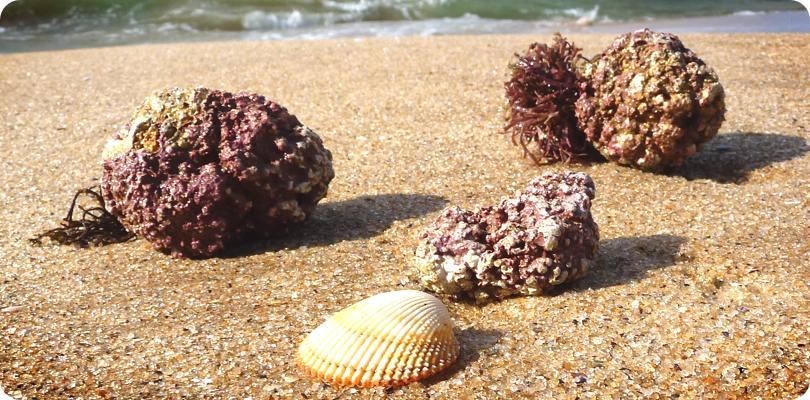 harvesting-marine-algaecal-platn-calcium