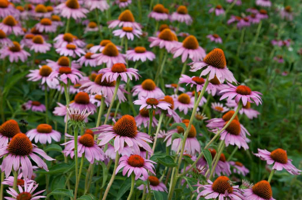pink Echinacea flowers on agriculture field