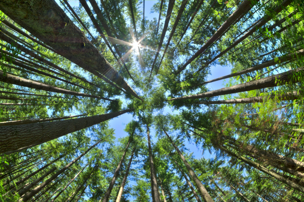 Look up in a dense pine forest