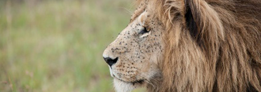 A lion's face