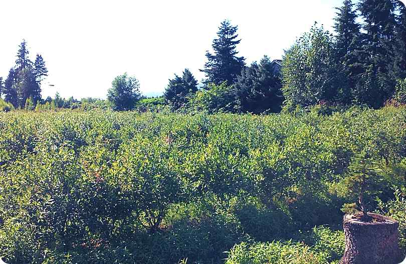 pitt meadows blueberries farm