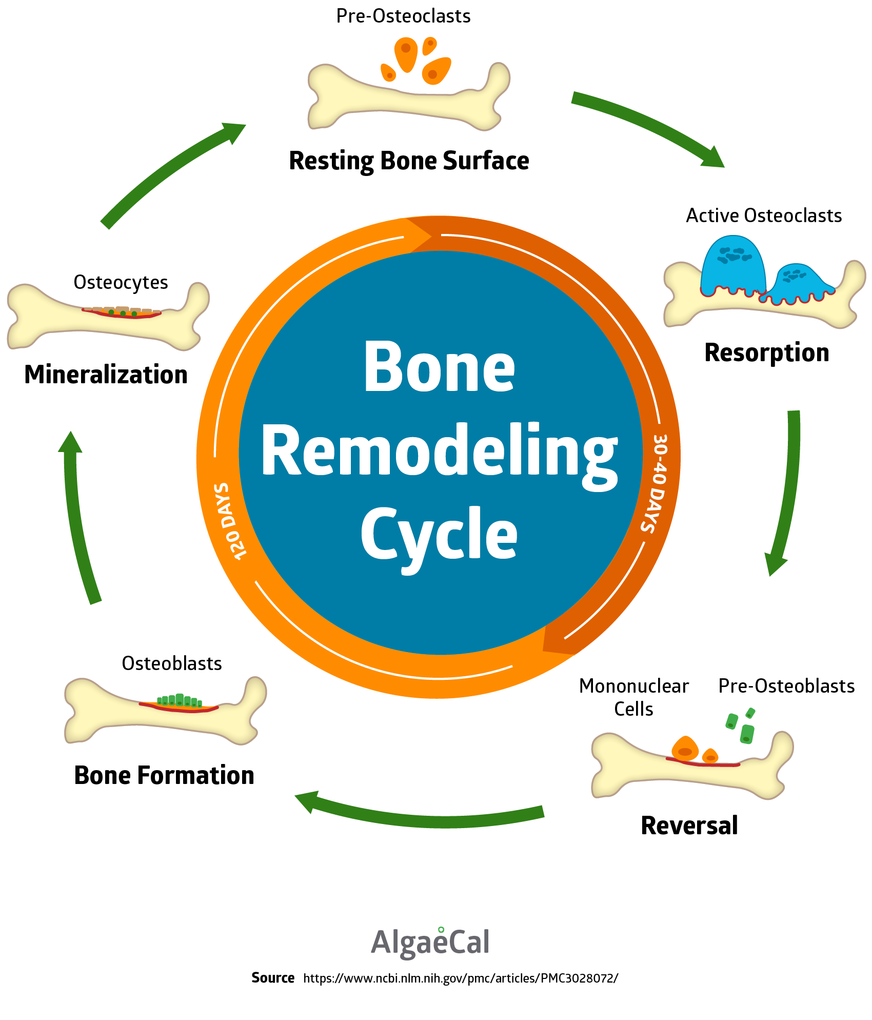 bone remodeling cycle