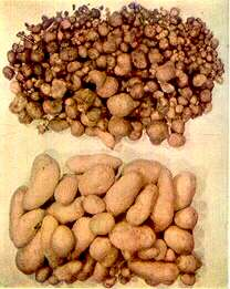 calcium myths - potatoes
